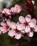 Rimedio 6: Cherry Plum