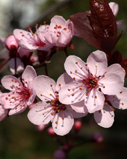 Cherry Plum - Prunus cerasifera, Visciola - Prunus cerasifera