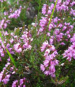 Heather - Erica - Calluna vulgaris