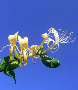 Honeysuckle - Caprifoglio - Lonicera caprifolium