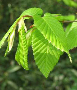 Hornbeam - Carpinus betulus - Carpinus betulus