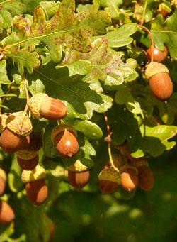 Oak - Quercia - Quercus robur