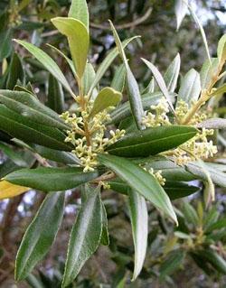 Olive - Olivo - Olea europoea