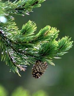 Pine - Pino silvestre - Pinus sylvestris