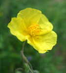 Rimedio 26: Rock Rose