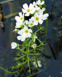 Rimedio 34: Water Violet