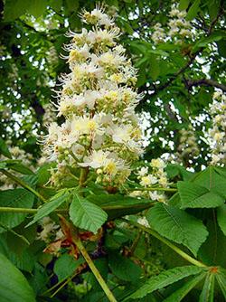White Chestnut - Castagno bianco - Aesculus hippocastanum