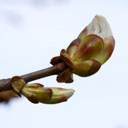 Chestnut Bud - Gemma di castagno - Aesculus hippocastanum