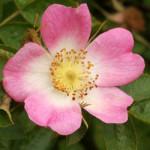 Rimedio 37: Wild Rose