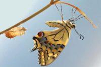 Farfalla esce dal bozzolo