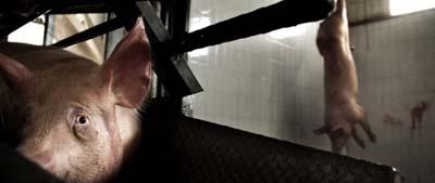 Oggi occorre liberare gli animali dalla tirannia umana.  La coscienza collettiva si sta evolvendo in senso animalista, fino alla creazione di una nuova etica universale della non violenza, gli animali non devono essere a uso e consumo dell'uomo. Non è possibile raggiungere le vette della spiritualità, non in senso di religiosità, se il corpo è nutrito con alimenti inadatti per la salute e intrisi di dolore e di violenza; se l'anima, nel suo percorso evolutivo, ha bisogno di una coscienza compassionevole, il cibo non deve essere prodotto a danno di un altro essere vivente.