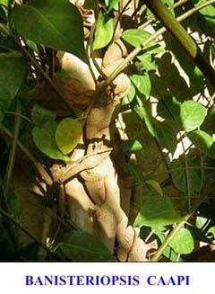 La bevanda più utilizzata dagli sciamani della foresta Amazzonica si chiama Ayahuasca. L'Ayahuasca è un decotto ottenuto attraverso una lenta ebollizione di due piante: una liana, detta Banisteriopsis Caapi, ed un arbusto noto come Psychotria Viridis, che gli indigeni peruviani chiamano chacruna.