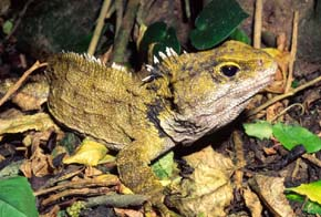 """Dal punto di vista evolutivo, l'epifisi nelle antiche specie animali era sollevata e raggiungeva la parte superiore del cranio. Ancora oggi vive, in alcune isole della Nuova Zelanda, un rettile primitivo provvisto di """"occhio pineale"""": il Tuatara o Sfenodonte (Sphenodon punctatus)."""