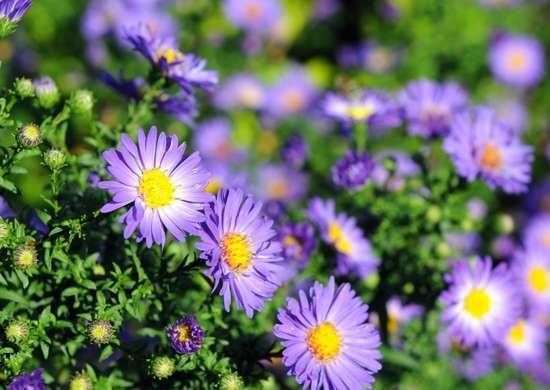 10 fiori belli e facili da coltivare - Guida Giardino